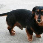 【犬の種類】胴長短足といえば「ダックスフンド」(Dachshund)