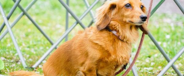 《犬の種類》胴長短足といえば「ダックスフンド」(Dachshund)