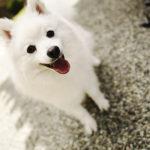 《犬の種類》メイドインジャパンの希少犬種「日本スピッツ」(japanese_spitz)