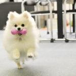 【犬の種類】ぬいぐるみのような愛くるしさ「ポメラニアン」(Pomeranian)