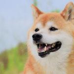 【犬の種類】常に一定の人気を誇る日本の犬種「柴犬」(Shiba Inu)