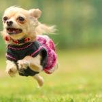 【犬の種類】ちっちゃくて大きな目がかわいい「チワワ」(Chihuahua )