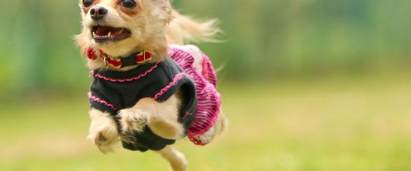 《犬の種類》小さくて大きな目がかわいい「チワワ」(Chihuahua )