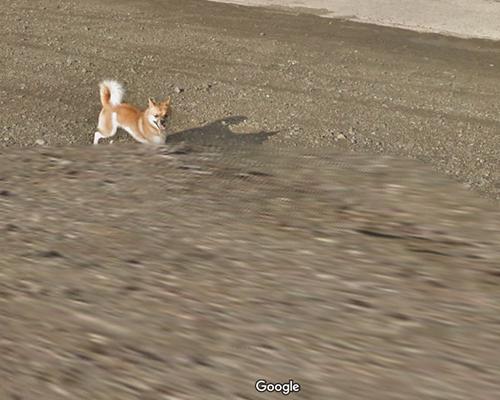 Googleストリートビューの撮影車を追いかけ激走!種子島のワンコ(柴犬)がかわいすぎる件8