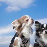 犬に首輪とハーネスどっちを選ぶ?首輪VSハーネス