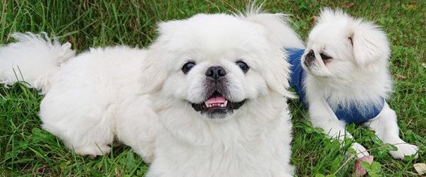 《犬の種類》猫のような犬!?不思議な魅力がたっぷりの犬「ペキニーズ」(Pekingese)