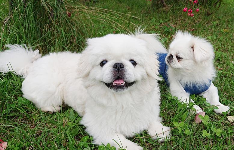 【犬の種類】猫のような犬!?不思議な魅力がたっぷりの犬「ペキニーズ」(Pekingese)