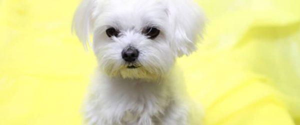 《犬の種類》絹のような純白の長い毛並「マルチーズ」(Maltese)