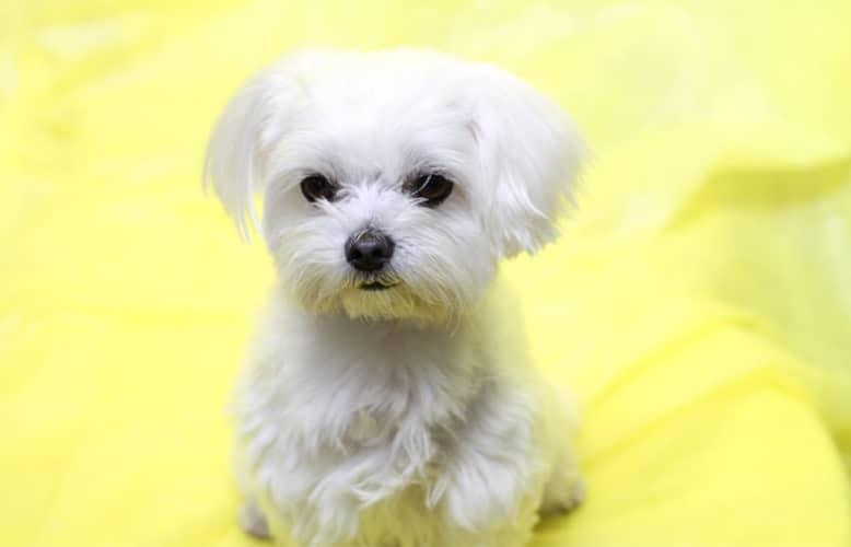 【犬の種類】シルクのような純白の長い毛並「マルチーズ」(Maltese)