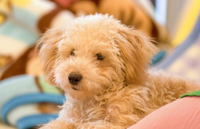 【犬の種類】ぬいぐるみのような愛くるしさ「トイプードル」(Toy Poodle)