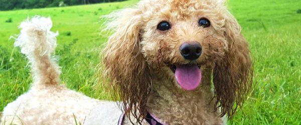 《犬の種類》ぬいぐるみのような愛くるしさ「トイプードル」(Toy Poodle)