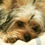 《犬の種類》ヨーキーと呼ばれ「動く宝石」で人気犬種「ヨークシャーテリア」(Yorkshire Terrier)
