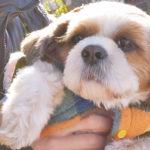 《犬の種類》ふわもこのまんまるな瞳と鼻ペチャ犬「シーズー」(Shih Tzu)