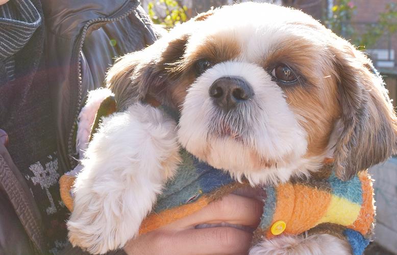 【犬の種類】ふわもこのまんまるな瞳と鼻ペチャ犬「シーズー」(Shih Tzu)