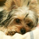 【犬の種類】ヨーキーと呼ばれ「動く宝石」で人気犬種「ヨークシャーテリア」(Yorkshire Terrier)