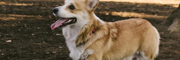 《犬の種類》愛嬌のある顔に丸太のような体『妖精の犬』「コーギー」