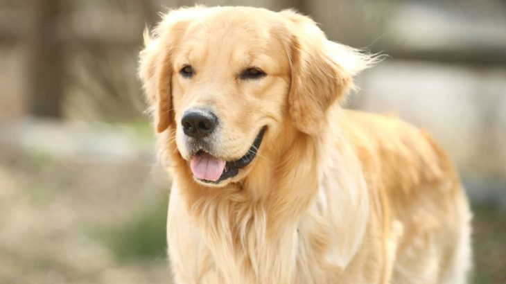 【かわいい犬の動画】ごちそうをキャッチできない不器用なゴールデン・レトリバー