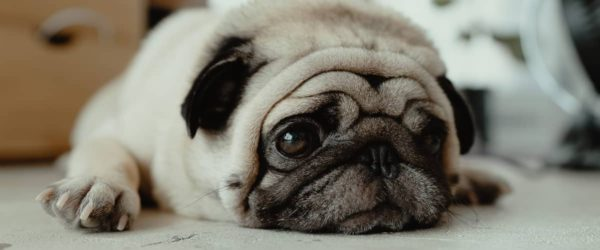 《犬の種類》しわしわの顔で独特な可愛さを持つ犬「パグ」(Pug)