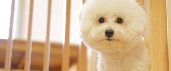 """《犬の種類》""""アフロ犬""""のモデルになった純白のモフモフ犬「ビションフリーゼ」(Bichon Frise)"""