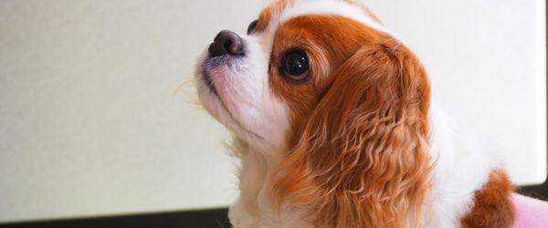 《犬の種類》「理想的な家庭犬」として知られる初心者にも飼いやすい「キャバリア」(Cavalier King Charles Spaniel)